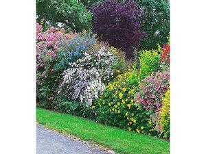 Sommer-Hecken-Kollektion, Blütenhecke, Blühhecke 5 Pflanzen Caryopteris, Hypericum, Ribes, Spirea und Weigelie