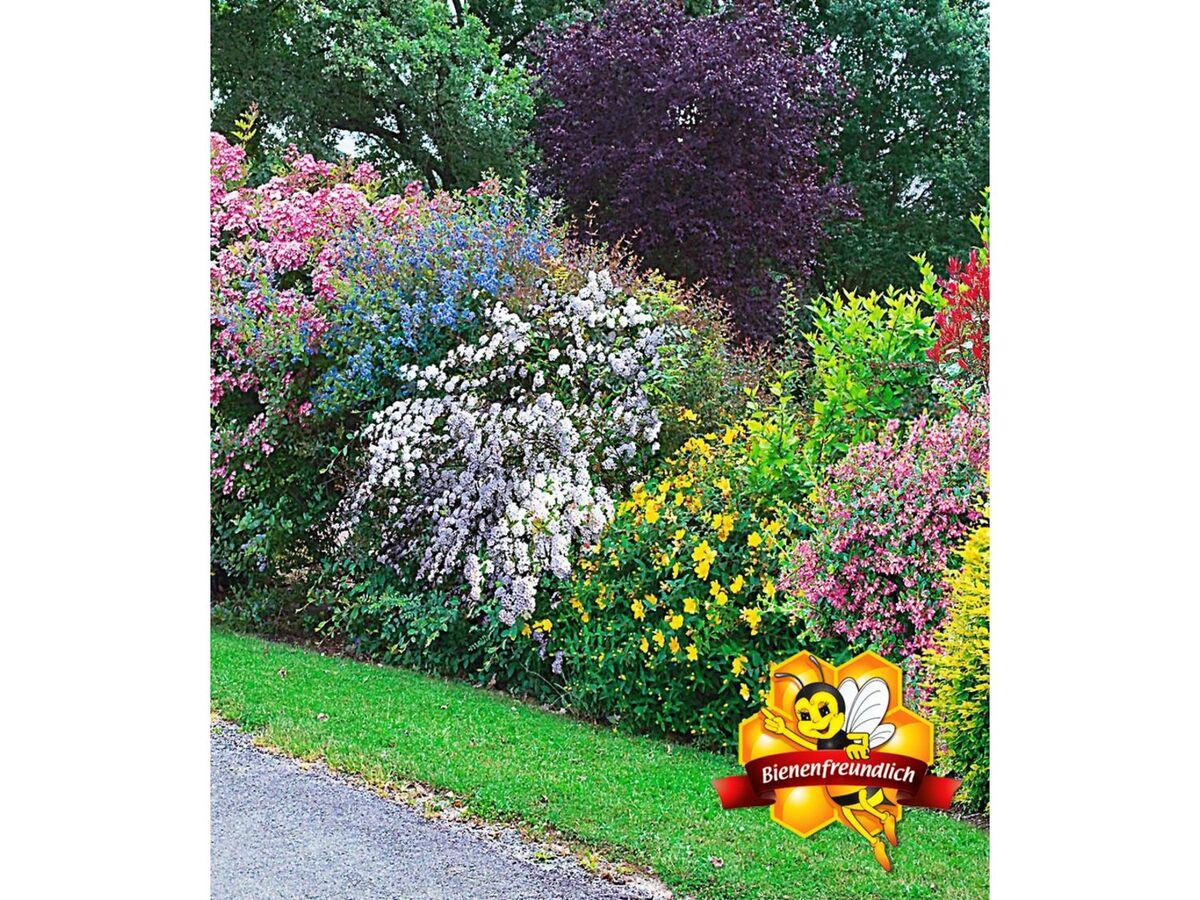 Bild 2 von Sommer-Hecken-Kollektion, Blütenhecke, Blühhecke 5 Pflanzen Caryopteris, Hypericum, Ribes, Spirea und Weigelie