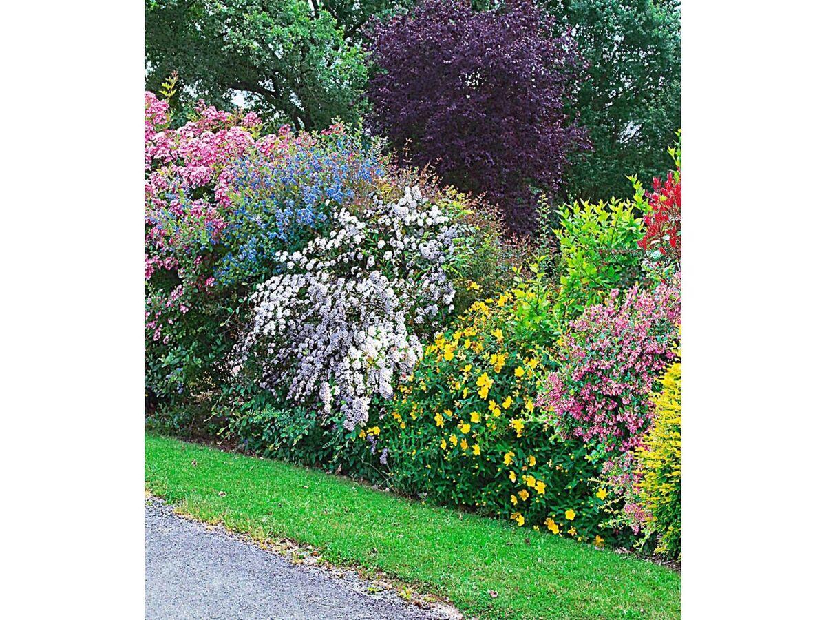 Bild 3 von Sommer-Hecken-Kollektion, Blütenhecke, Blühhecke 5 Pflanzen Caryopteris, Hypericum, Ribes, Spirea und Weigelie