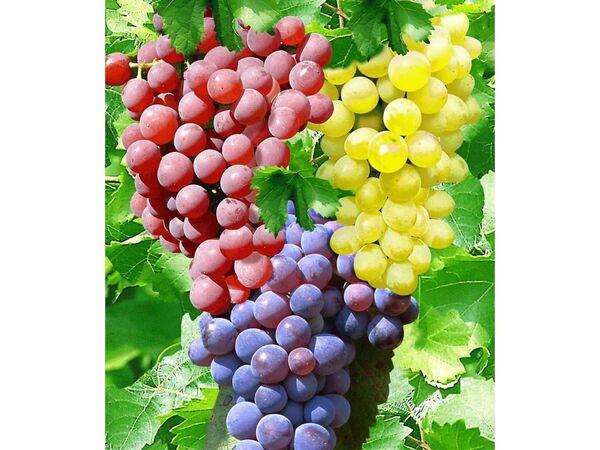 Kernlose Tafel-Trauben-Kollektion Weinreben Sortiment kernlos, 3 Pflanzen New York, Vanessa, Venus