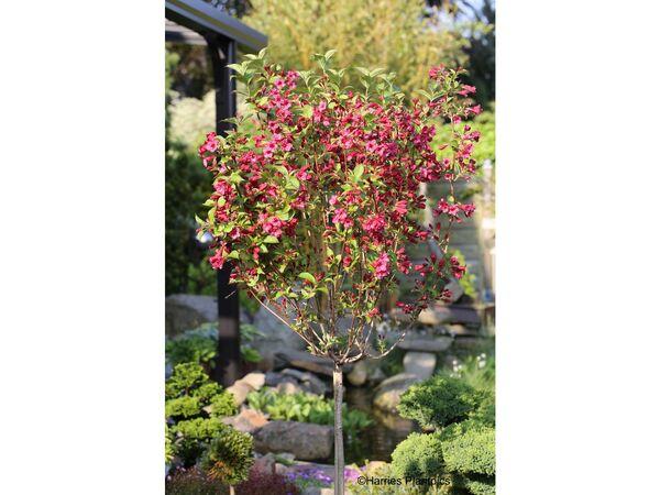 Weigelia Bristol Ruby® als Kugel-Stämmchen gezogen, rot blühend