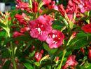 Bild 2 von Weigelia Bristol Ruby® als Kugel-Stämmchen gezogen, rot blühend