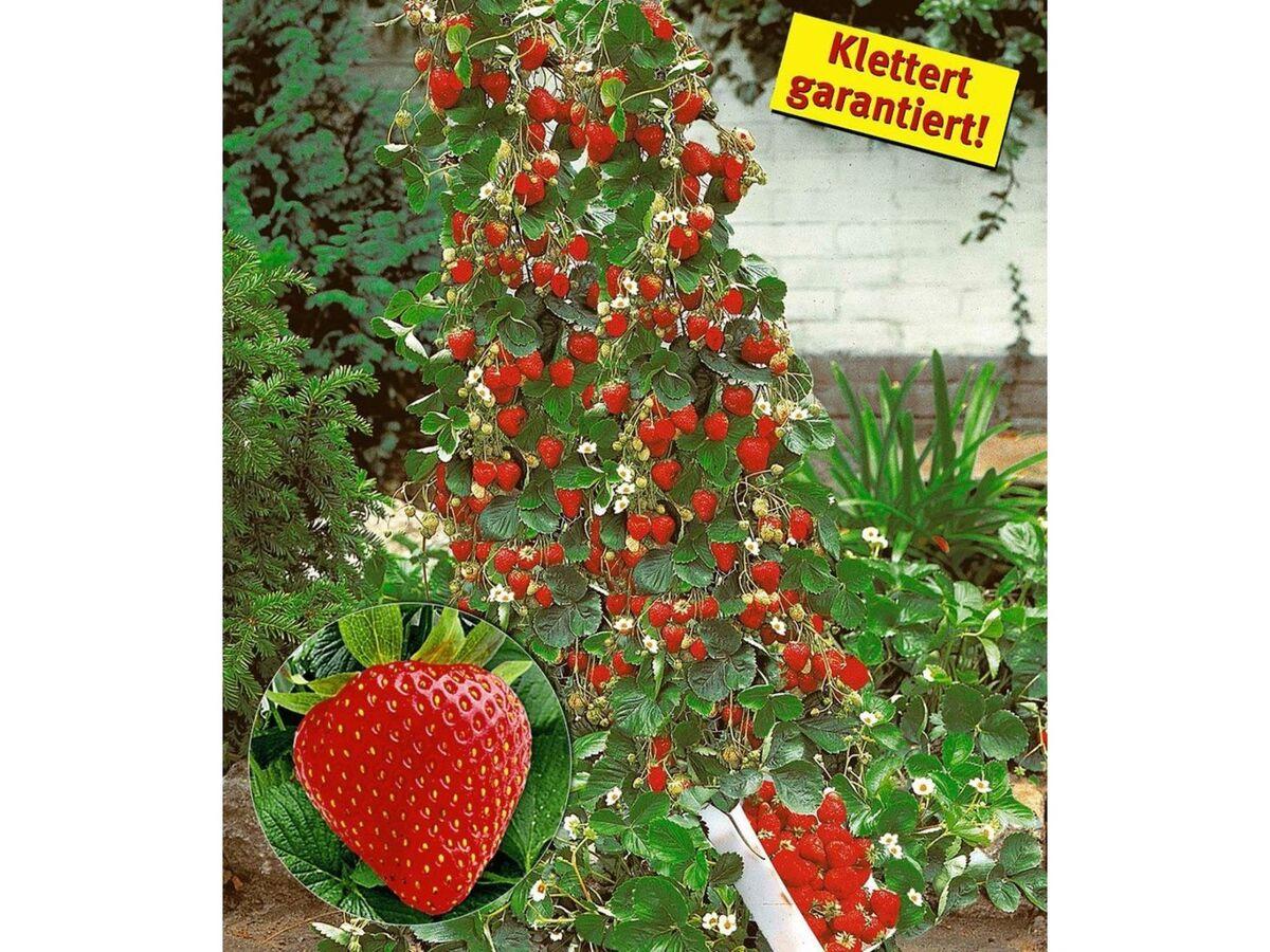 Bild 1 von Kletter-Erdbeere® Hummi®, 3 Pflanzen Fragaria