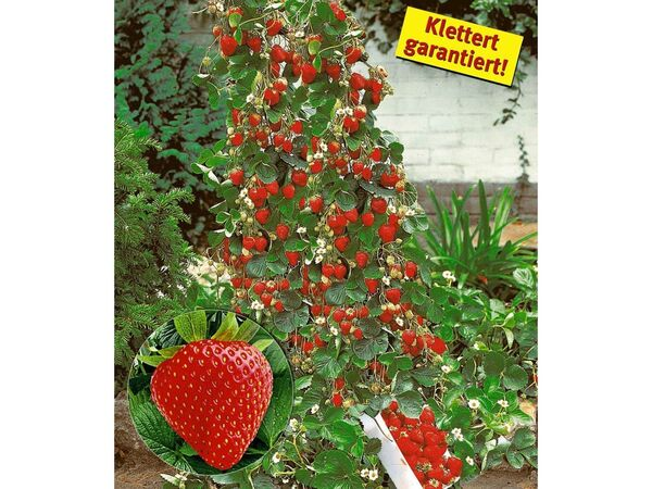 Kletter-Erdbeere® Hummi®, 3 Pflanzen Fragaria