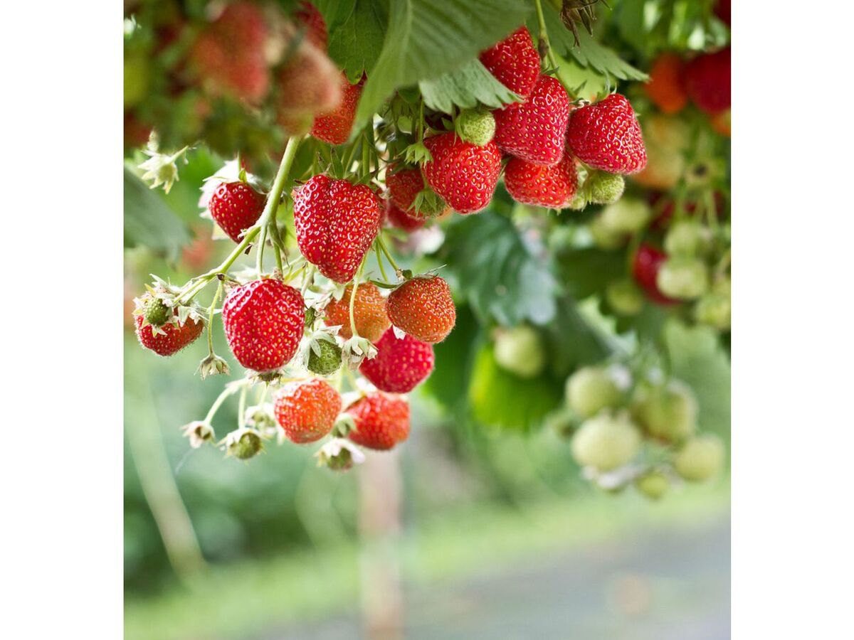 Bild 2 von Kletter-Erdbeere® Hummi®, 3 Pflanzen Fragaria