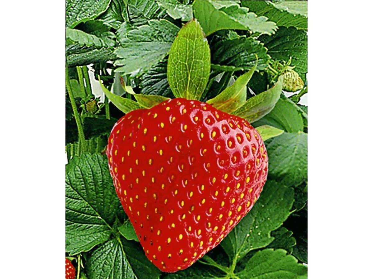 Bild 4 von Kletter-Erdbeere® Hummi®, 3 Pflanzen Fragaria