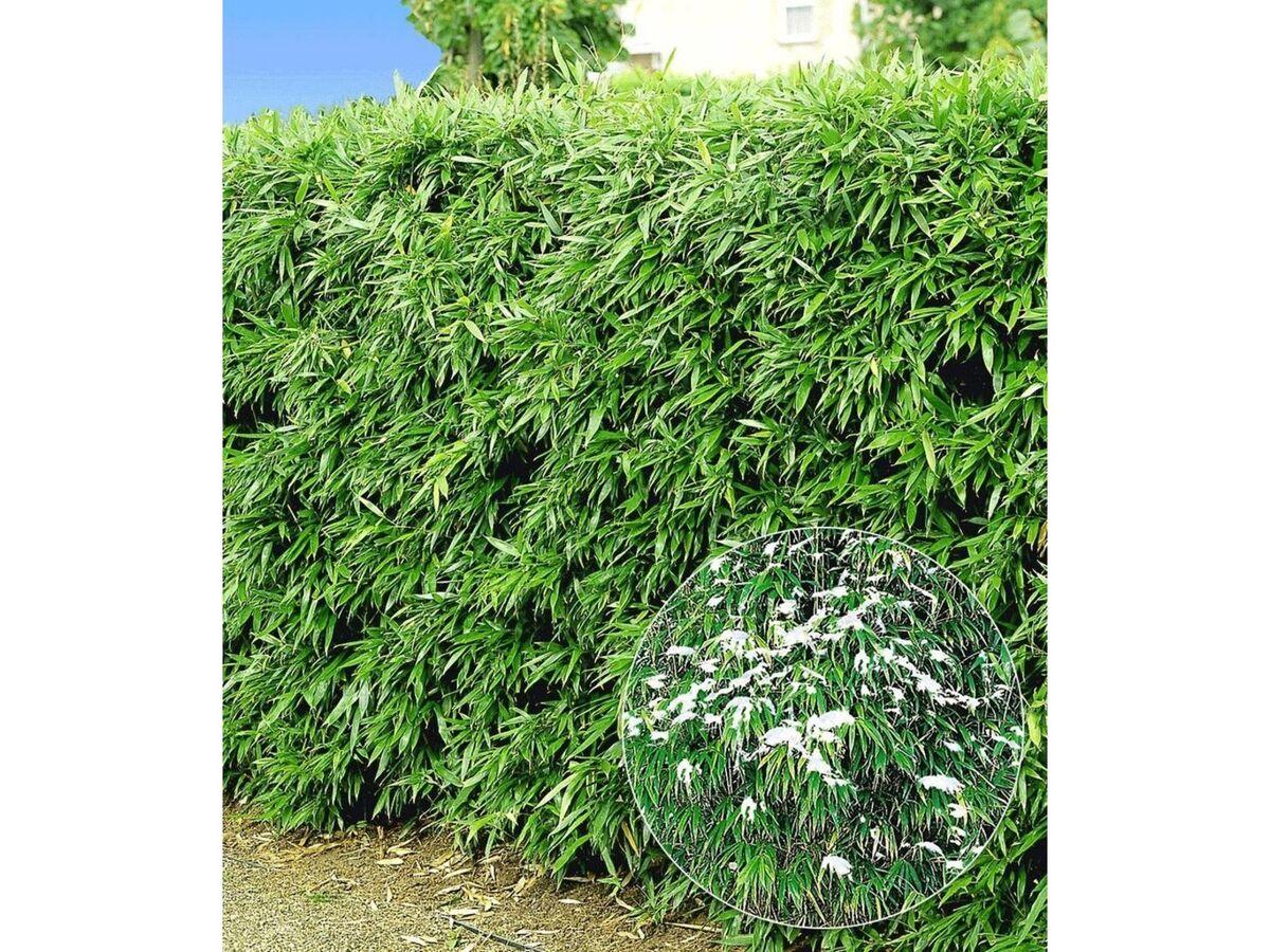 Bild 1 von Winterharte Bambus-Hecke, 5 Pflanzen, Fargesia murielae Simba
