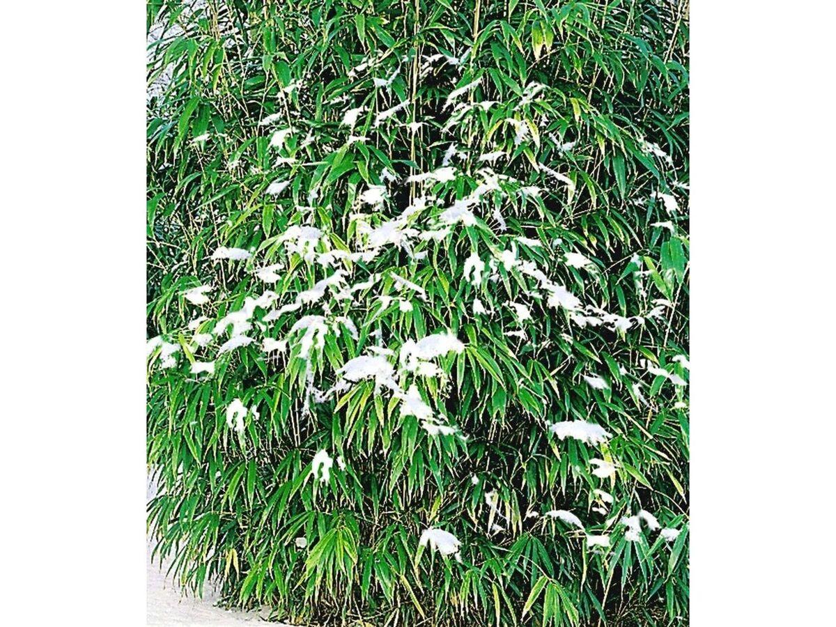 Bild 3 von Winterharte Bambus-Hecke, 5 Pflanzen, Fargesia murielae Simba
