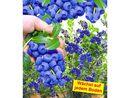 Bild 1 von Trauben-Heidelbeeren 'Reka® Blue', 1 Pflanze, Vaccinium corymbosum