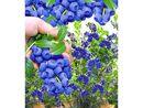 Bild 3 von Trauben-Heidelbeeren 'Reka® Blue', 1 Pflanze, Vaccinium corymbosum