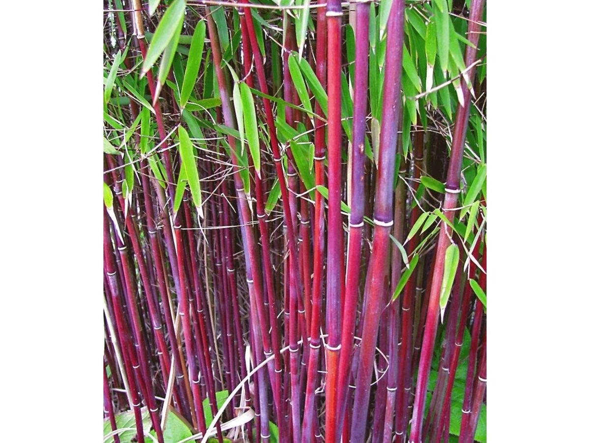 Bild 1 von Roter Bambus 'Jiuzhaigou No.1', 1 Pflanze