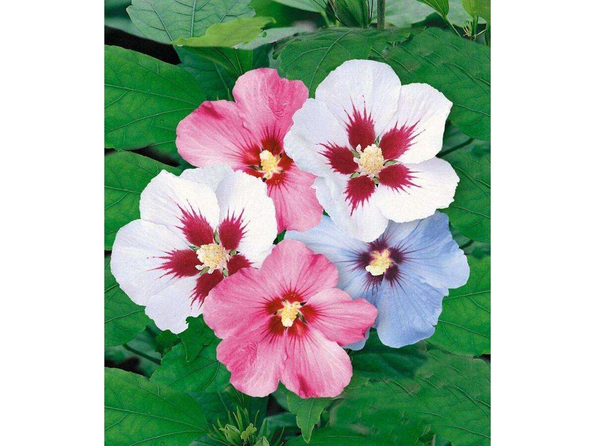 Bild 2 von Winterharte Hibiskus-Hecke, 10 Pflanzen, Hibiscus Syriacus