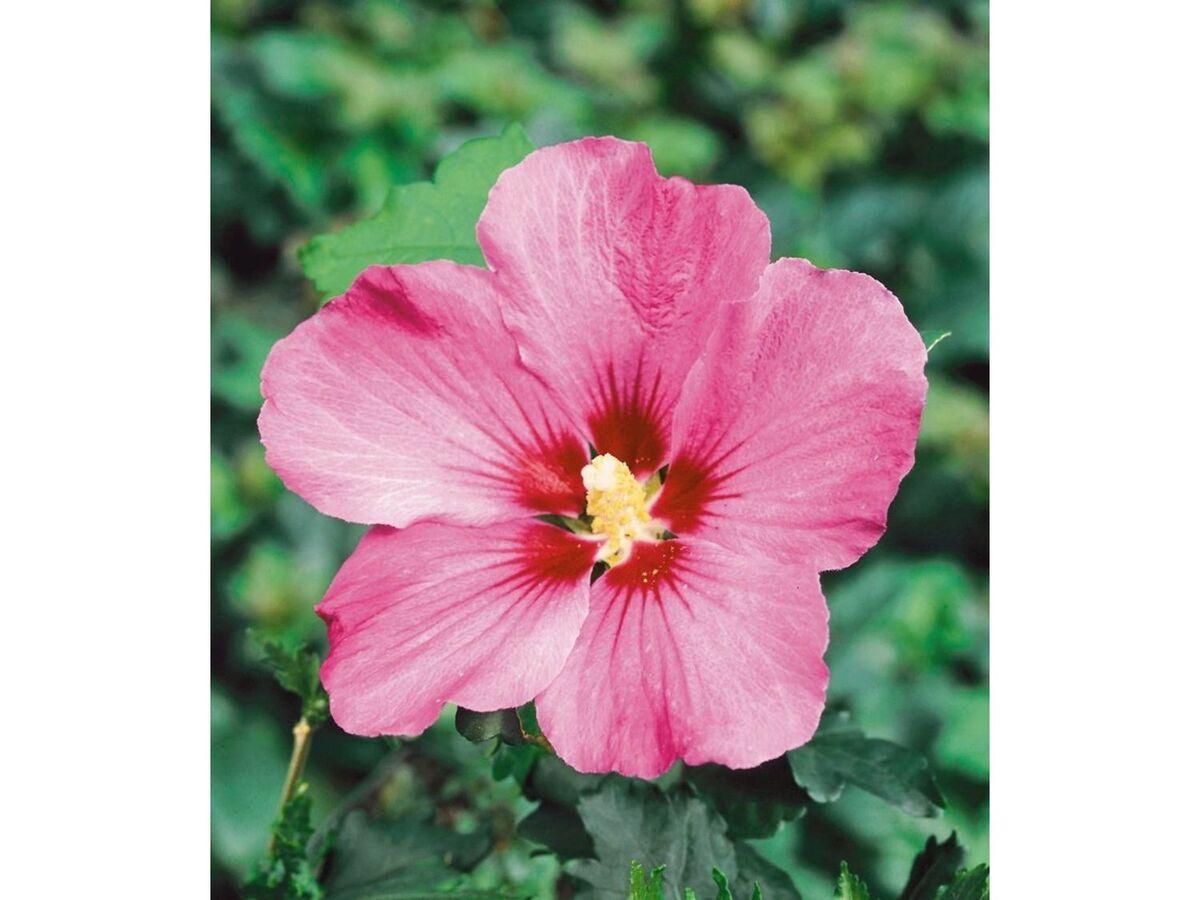 Bild 3 von Winterharte Hibiskus-Hecke, 10 Pflanzen, Hibiscus Syriacus