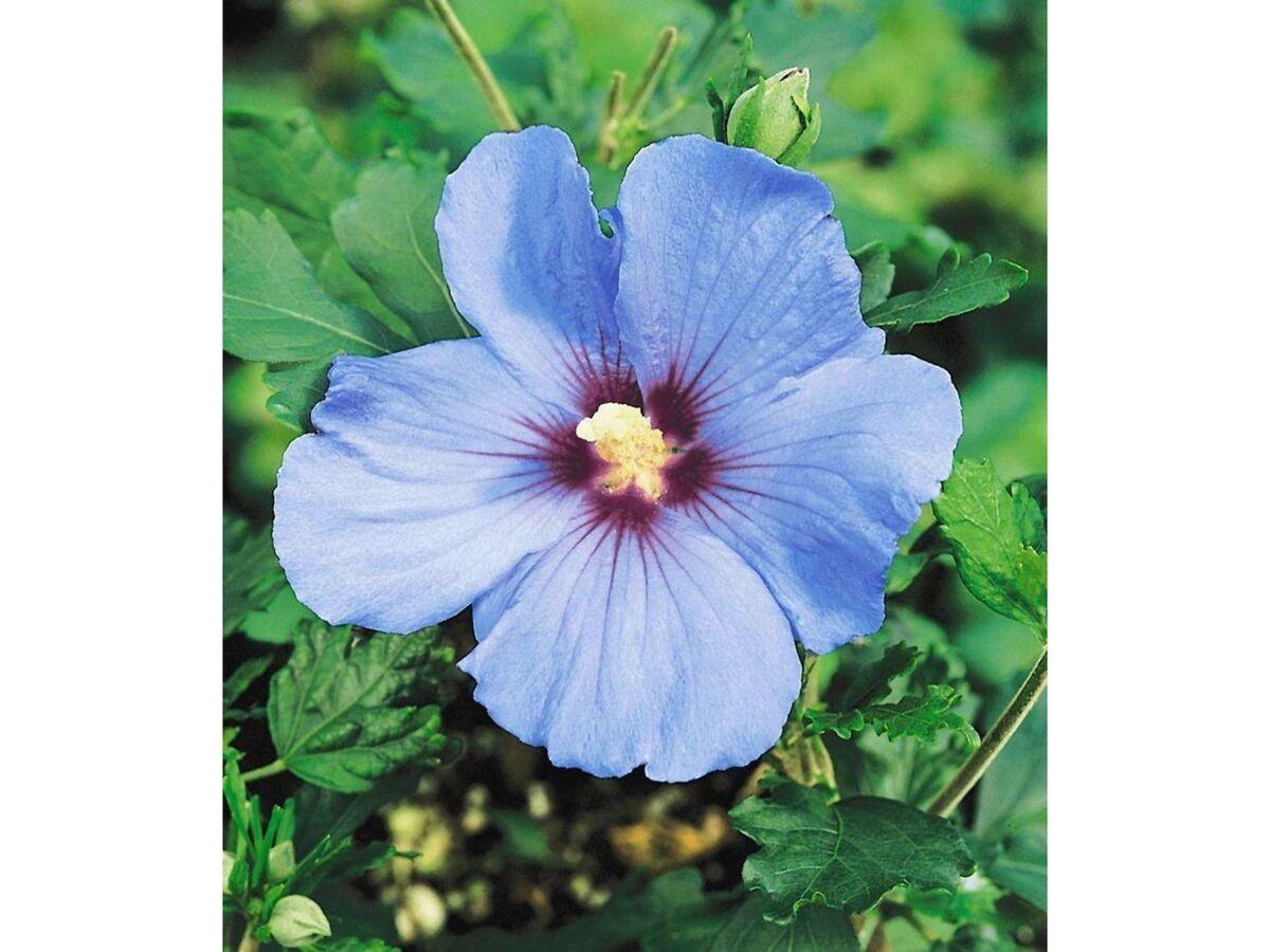 Bild 4 von Winterharte Hibiskus-Hecke, 10 Pflanzen, Hibiscus Syriacus