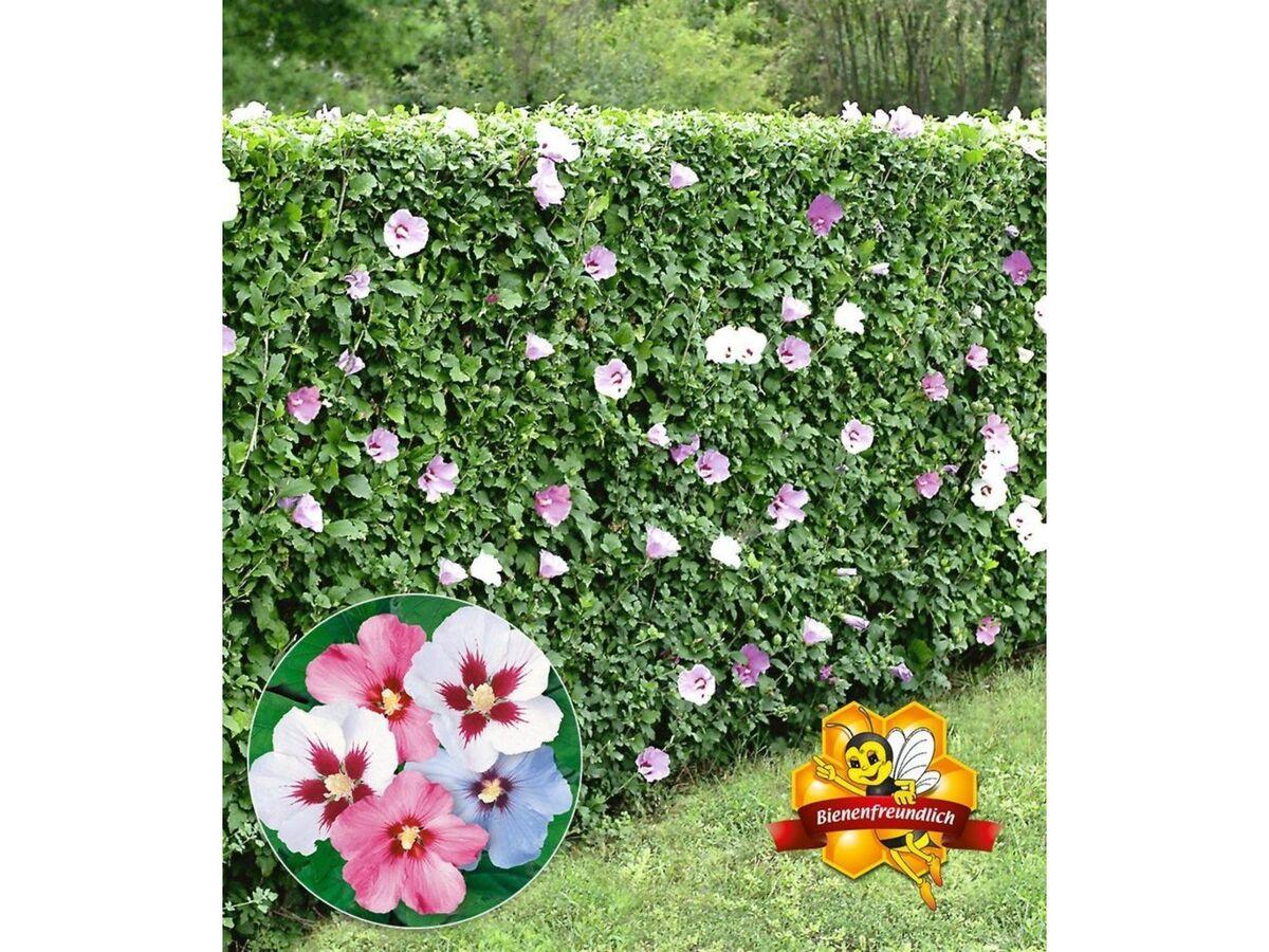Bild 5 von Winterharte Hibiskus-Hecke, 10 Pflanzen, Hibiscus Syriacus