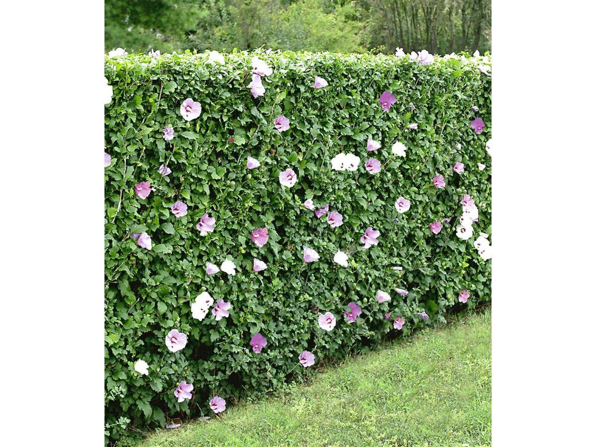 Bild 9 von Winterharte Hibiskus-Hecke, 10 Pflanzen, Hibiscus Syriacus