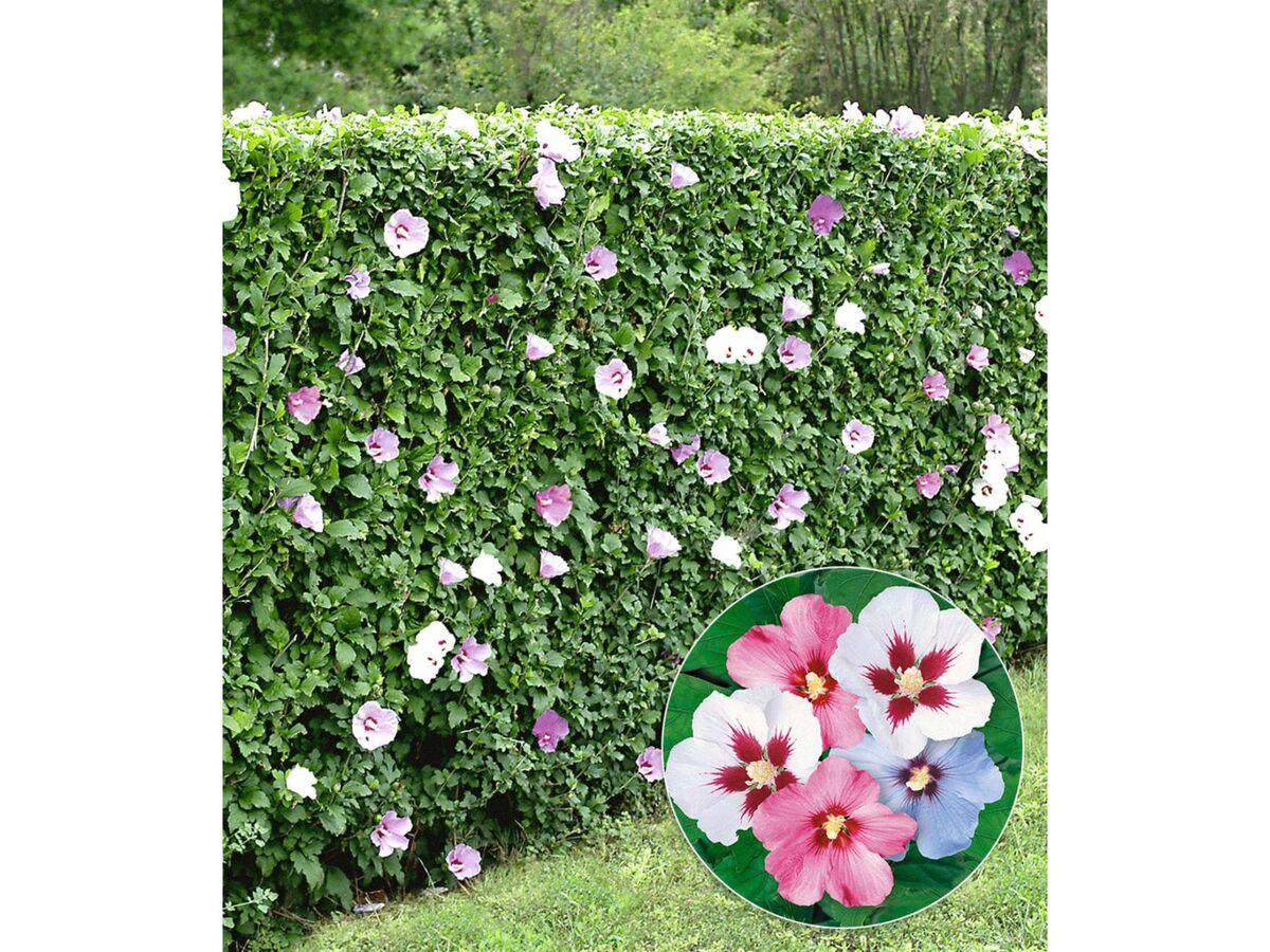 Bild 10 von Winterharte Hibiskus-Hecke, 10 Pflanzen, Hibiscus Syriacus