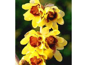 Chinesische Winterblüte, 1 Pflanze Chimonanthus praecox