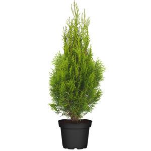 """Lebensbaum """"Smaragd"""" - topfgewachsene Ware"""