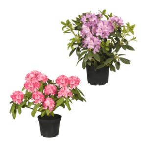 GARDENLINE     Rhododendron-Busch