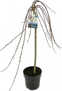Kätzchenweide Salix caprea Kilmarnock, 19 cm Topf