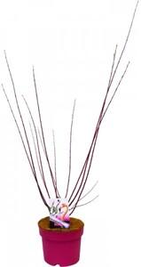 Zierweide Flamingo Salix integra, 17 cm Topf