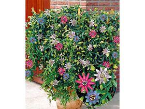 Passionsblumen-Trio Exotic Flowers,1 Pflanze