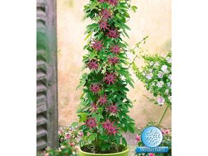 Winterharte Passionsblumen 'Ladybirds Dream', 1 Pflanze, Passiflora