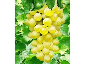 Tafel-Trauben »New York®«, Weinreben, kernlos, sehr winterhart, 300 - 750 cm Wuchshöhe