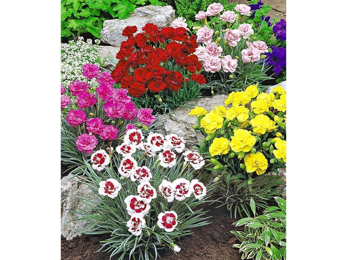 Bild 1 von Prachtmischung 'Duft-Gartennelken', 5 Pflanzen Dianthus