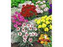 Bild 2 von Prachtmischung 'Duft-Gartennelken', 5 Pflanzen Dianthus