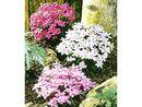 Bild 1 von Winterharter Bodendecker Grasstern Twinkle Star®, 3 Pflanzen im Mix