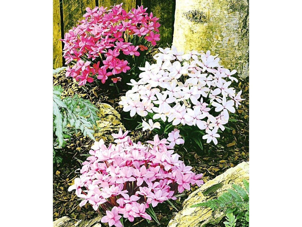 Bild 2 von Winterharter Bodendecker Grasstern Twinkle Star®, 3 Pflanzen im Mix