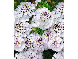 Winterharter Bodendecker Iberis Schleifenblume 'Masterpiece®', 3 Pflanzen