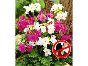 Incarvillea' Blüten-Mix Freilandgloxinie, 3 Stück