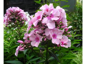 Hoher Staudenphlox, rosa blühend, 2 Pflanzen im 1 Liter Topf