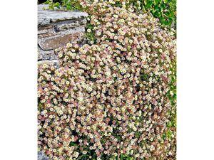 Spanisches Gänseblümchen 3 Pflanzen Erigeron Staude winterhart