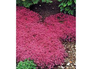 Bodendecker-Thymian,3 Pflanzen