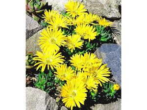 Winterharter Bodendecker Goldtaler, 2 Pflanzen Delosperma congestum