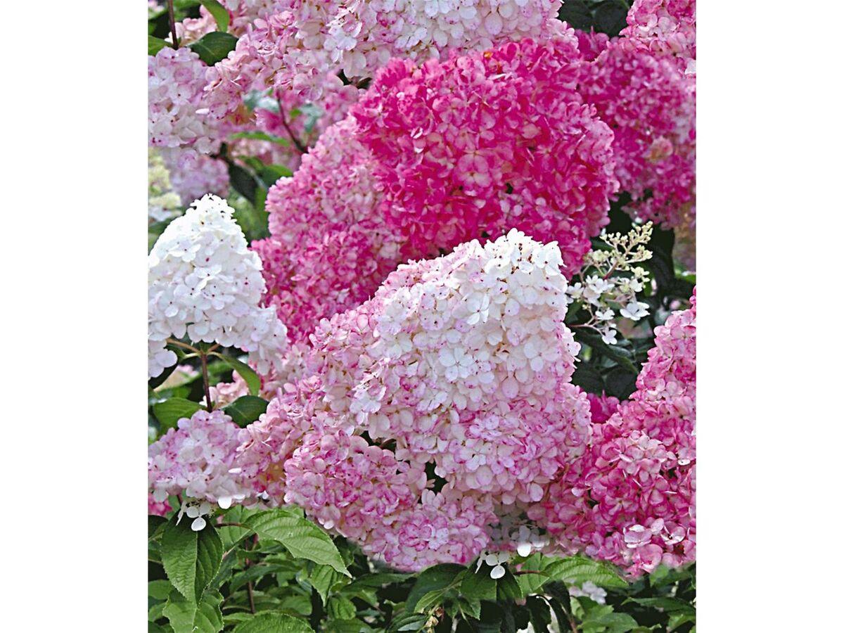 Bild 2 von Freiland-Hortensien 'Vanille Fraise®', 1 Pflanze, Hydrangea paniculata