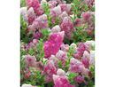 Bild 3 von Freiland-Hortensien 'Vanille Fraise®', 1 Pflanze, Hydrangea paniculata