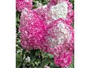 Bild 4 von Freiland-Hortensien 'Vanille Fraise®', 1 Pflanze, Hydrangea paniculata
