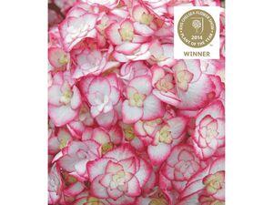 Hydrangea Miss Saori® Hortensien Hydrangea macrophylla, 1 Pflanze