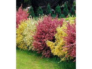 Ginster-Hecke Tricolor,3 Pflanzen