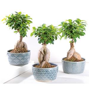 """Bonsai """"Ficus Ginseng"""""""