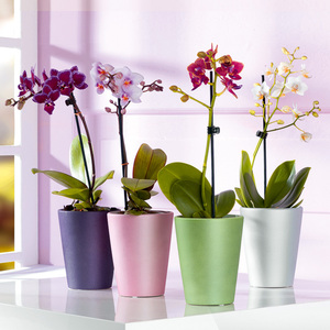 Midi-Orchidee