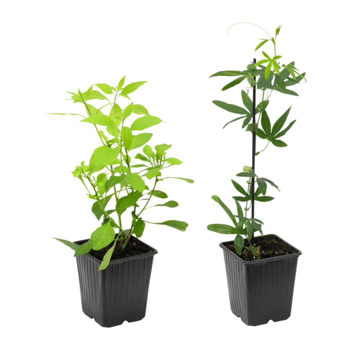 Bild 1 von GARDENLINE     Rankpflanze