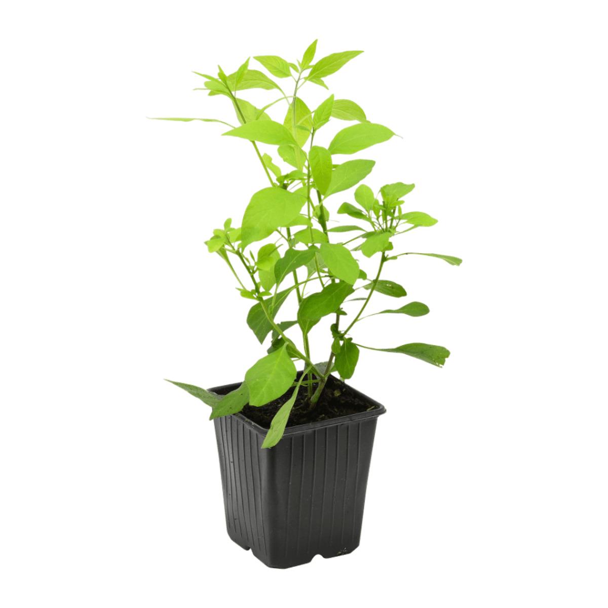 Bild 2 von GARDENLINE     Rankpflanze
