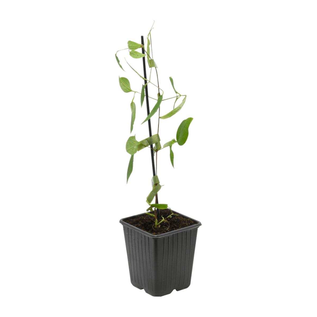 Bild 3 von GARDENLINE     Rankpflanze