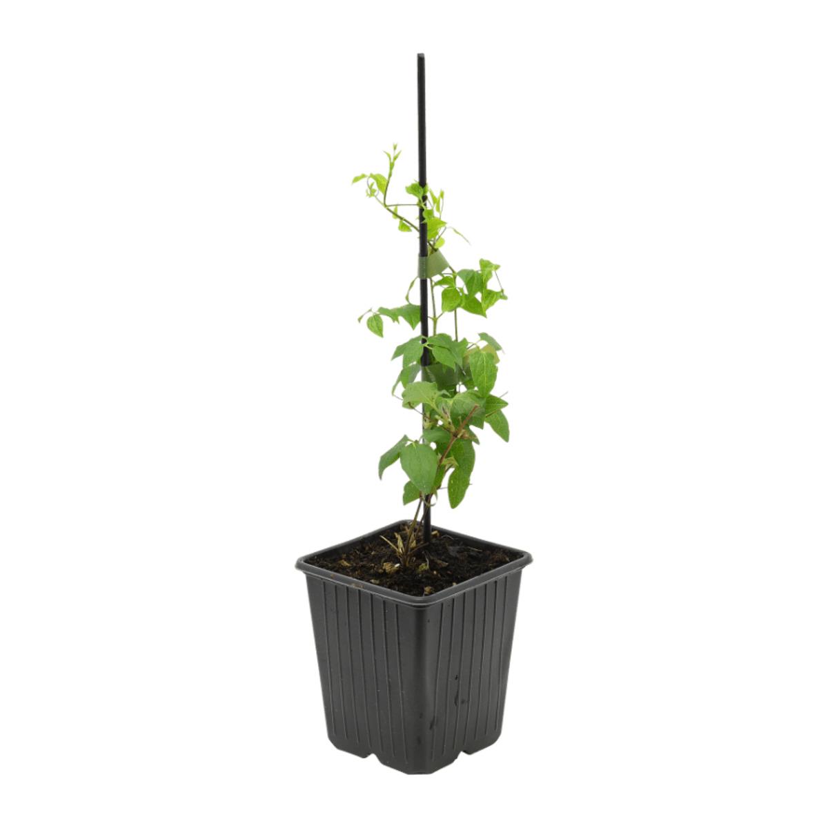 Bild 4 von GARDENLINE     Rankpflanze